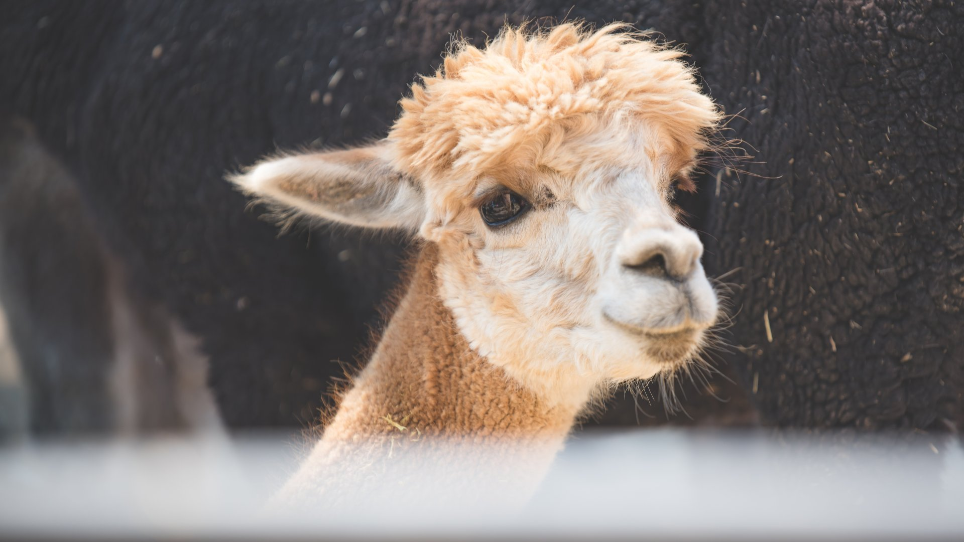 Explore alpaca farms, acres of lavender fields, and orchards as far as the eye can see.